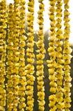Chimonanthus praecox Royalty-vrije Stock Foto's