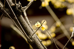 Chimonanthus praecox Royalty-vrije Stock Afbeelding