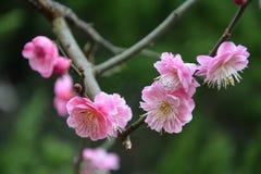 Chimonanthus praecox Royalty Free Stock Images