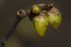 Chimonanthus praecox Royalty Free Stock Photography