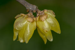 Chimonanthus praecox Stock Photos