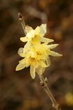 Chimonanthus praecox (Wintersweet) Stockbild