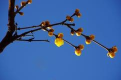 Chimonanthuspflaume Stockfotografie