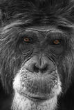 Chimp Stock Image