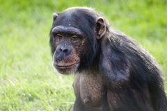 Chimp Royalty Free Stock Images