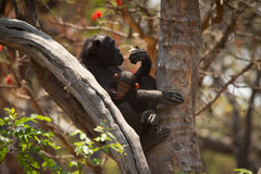 Chimp Stock Images