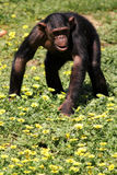Chimp Royalty Free Stock Image