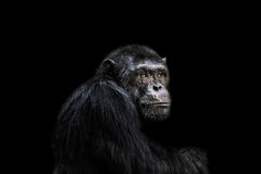 chimp Imagenes de archivo