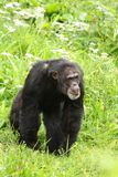 Chimp Royalty Free Stock Photos