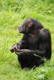 Chimp Royalty Free Stock Photography