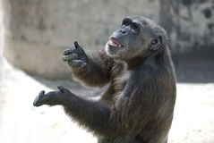 Chimp acting human Royalty Free Stock Image