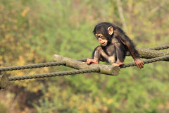Free Chimp Baby Stock Image - 9019211