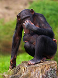 Chimp with a baby on her belly Stock Images