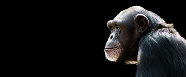 Chimp banner. Profile of a chimpanzee staring thoughtfully with room for text on a black background Royalty Free Stock Photography