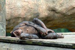 Chimp Chillin' Royalty Free Stock Image