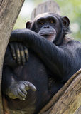 Chimp Stock Photos