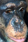 Chimp closeup Stock Image
