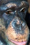 Chimp closeup Stock Image
