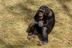 Chimp communication Stock Image