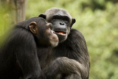 Chimp Couple. A couple of chimpanzee relaxing during meal Stock Photography
