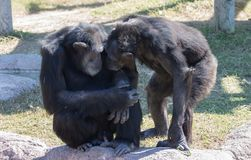 Chimp couple nuzzling each other royalty free stock photo