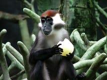 Chimp eating. Something royalty free stock photography