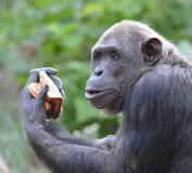 Chimp eats bread 5 Stock Image