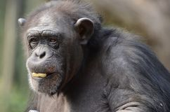 Chimp eats peanut Stock Photography