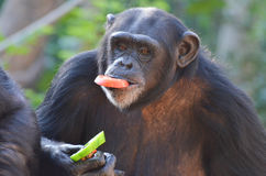 Chimp eats veggies stock photos