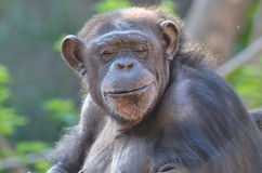 Chimp with eyes closed. A female chimpanzee sits with her eyes closed Royalty Free Stock Photography