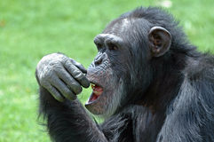 Chimp Face. Stock Photos