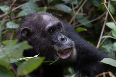 Chimp feeding on vines Stock Photo
