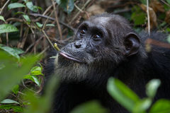 Chimp feeding on vines. Eastern chimpanzee feeding on vines in the forest Stock Photo