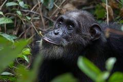 Chimp feeding on vines Stock Photo