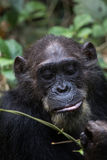 Chimp feeding on vines. Eastern chimpanzee feeding on vines in the forest Stock Photography