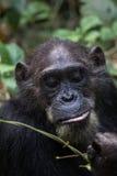 Chimp feeding on vines Stock Photography