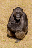 Chimp  Stock Photography