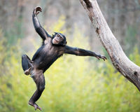 Chimp in Flight. Young Chimpanzee Swinging and Jumping from a Tree Royalty Free Stock Photo