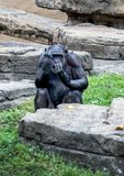 Chimp gestures with his hands royalty free stock photo