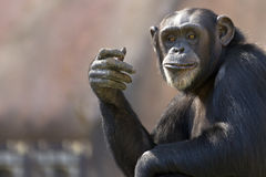 Chimp gesturing Royalty Free Stock Photos
