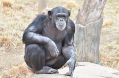 Chimp girl 3 Stock Image