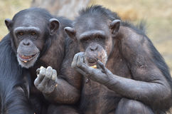 Chimp girls Stock Images
