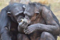 Chimp girls 2 royalty free stock images