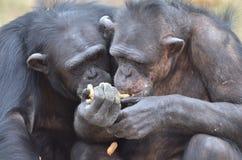 Chimp girls 3 stock images