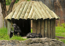 Chimp habitat Royalty Free Stock Images