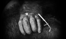 Chimp hand Stock Photo