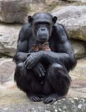 Chimpanzee andbaby Royalty Free Stock Images
