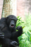 Chimp With His Lips Puckered to Make Noises Royalty Free Stock Photo