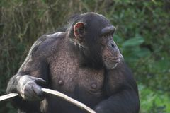 Chimp holding stick Royalty Free Stock Image