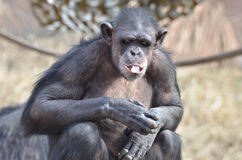 Chimp with ice 11 Royalty Free Stock Photos